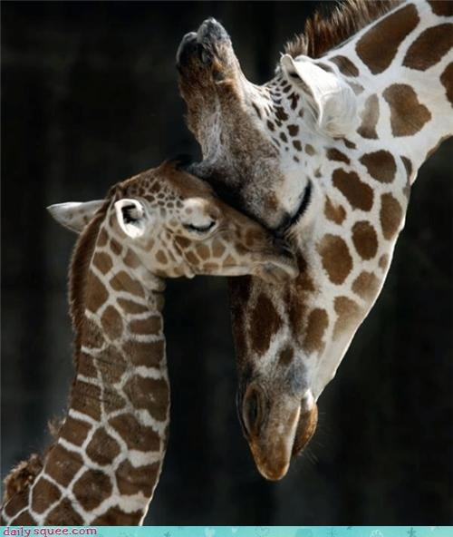 beyond compare comfort comforting giraffes love loving maternal mom mother nurturing nuzzling - 4196569856
