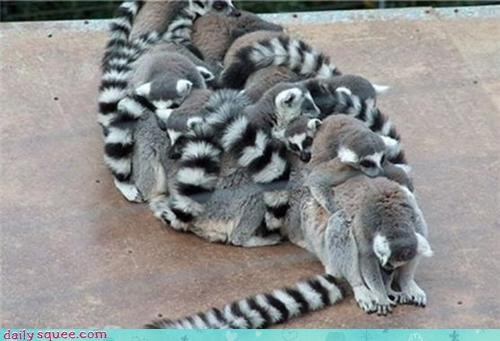 cute lemur pet - 4196590592