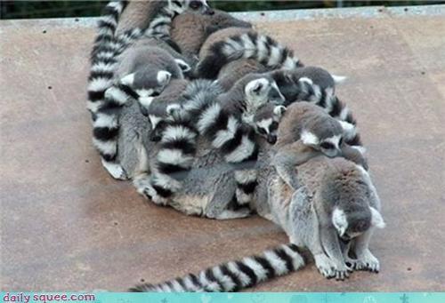 cute lemur pet - 4196590592