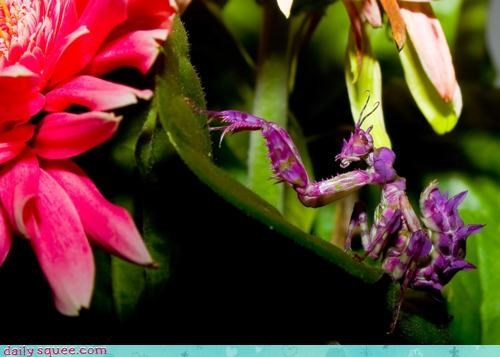 acting like animals amazing blending in camouflage colors Flower mantis praying mantis pretty