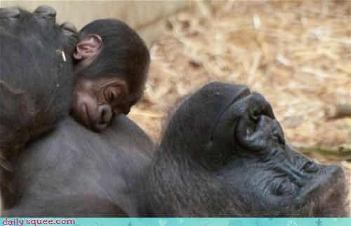 acting like animals baby equals gorilla gorillas mama mom mother Pillow sleeping - 4197328384
