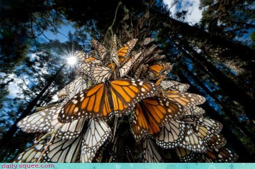 acting like animals beautiful butterflies butterfly migration monarch monarch butterflies monarch butterfly tree - 4197380864