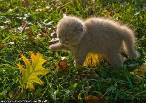 autumn curious cyoot kitteh of teh day fall leaf leaves - 4198105088