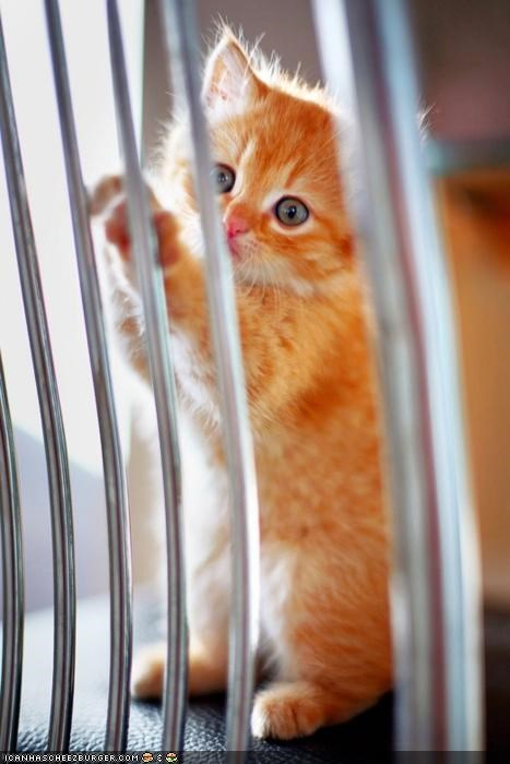 chair,curious,cyoot kitteh of teh day,jail,orange