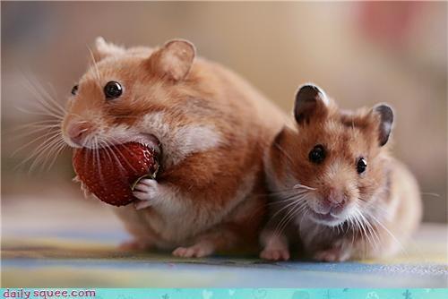 food,hamster,nom,Om Nom Monday