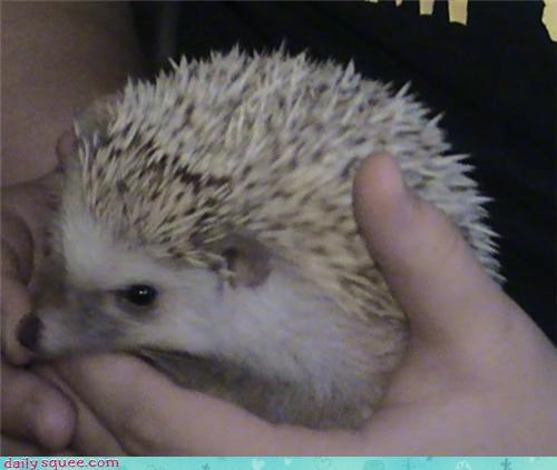 defining,definition,definitions,hand,hedgehog,holding,reader squees,squee,squeeness