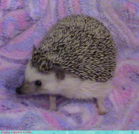 adorable,blanket,cute,hedgehog,nuzzling,pig,pun,reader squees,snuggling,sweet,tiny