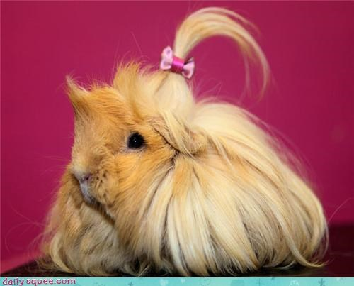 hair locks long hair guinea pigs squee spree squee