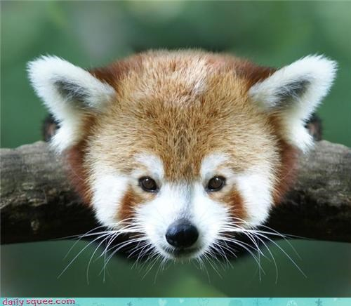 cute,floof,head,red panda,squee