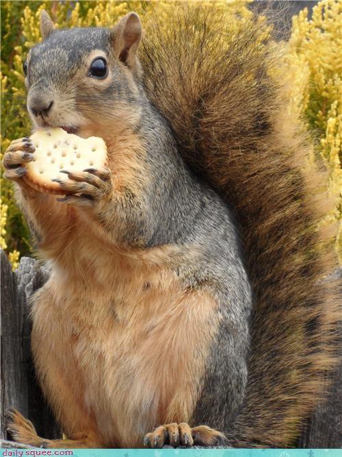 cute nom pig squirrel - 4207561472