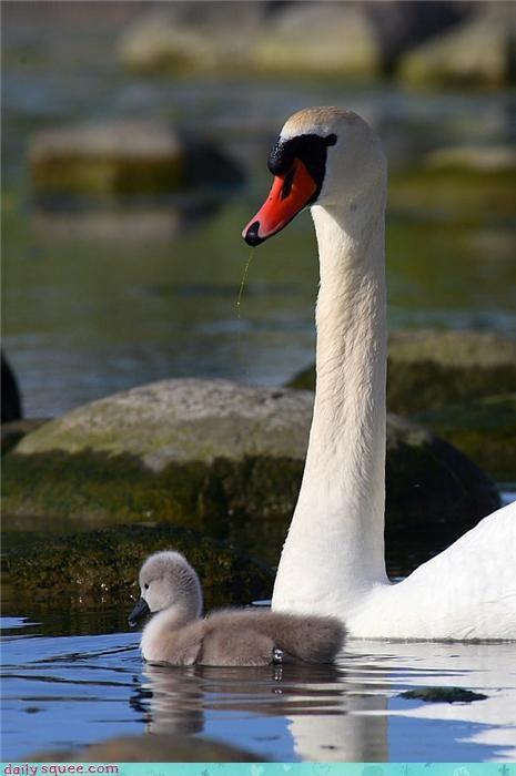 baby cute cygnet grey swan - 4209520384