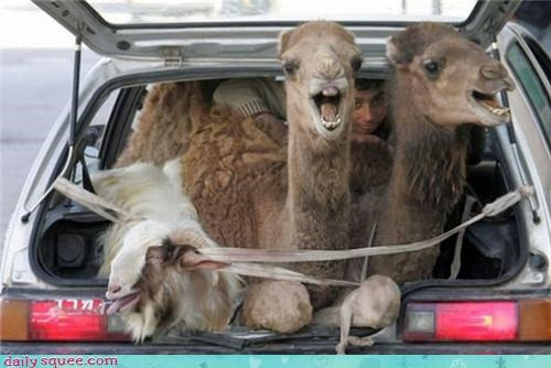 camel,cute,face,silly