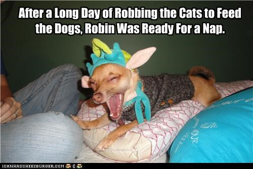 chihuahua,exhausted,nap,robin hood,sleep,tired,yawn
