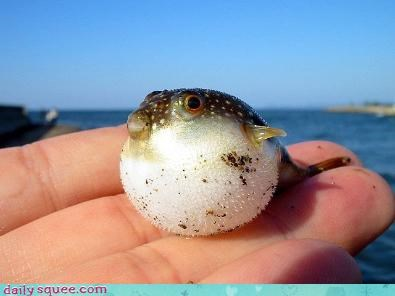 blowfish,cute,fish,pufferfish