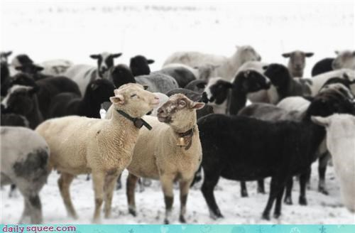 snow herd sheep winter squee - 4212693760