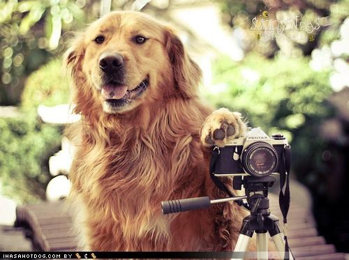 camera,Command,golden retriever,hold still,photographer,photography,request,smile