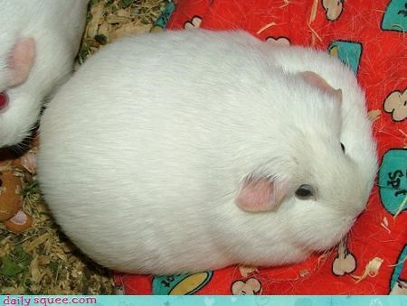 floof Fluffy Friday guinea pig - 4213484800