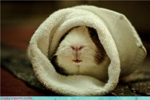 cute guinea pig har pei peeg pig towels - 4213489152