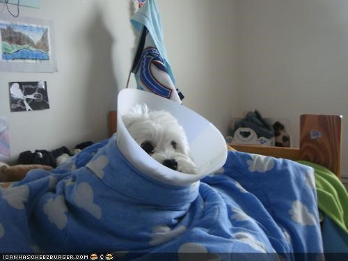 begging,blanket,cone of shame,curled up,cyoot puppeh ob teh day,embarrassed,help,maltese,please,puppy
