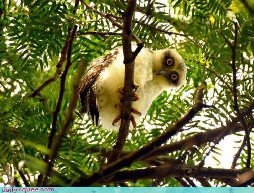 acting like animals baby chick cute floofy Owl Staring white wide eyed - 4214235136