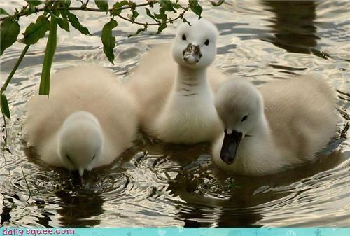 baby bird cygnet duck swan - 4214514432