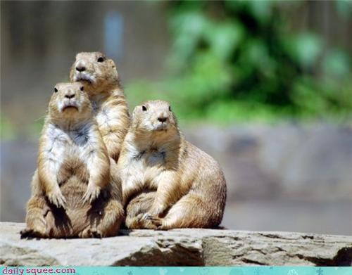 prairie dog family squee rodents - 4214703616