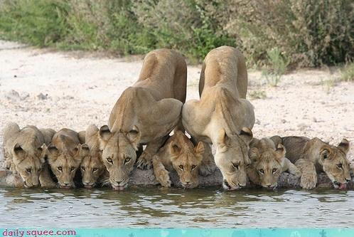 cub lion mama scary - 4214706688