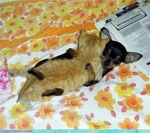 chihuahua dogs kitten puppy - 4214724096