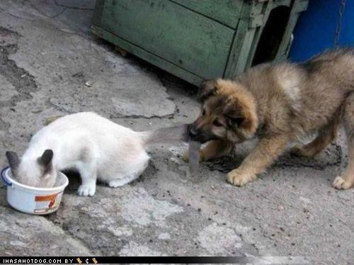 biting cat dish first food husky kittehs r owr friends leftovers line mixed breed noms order puppy tail - 4216107264