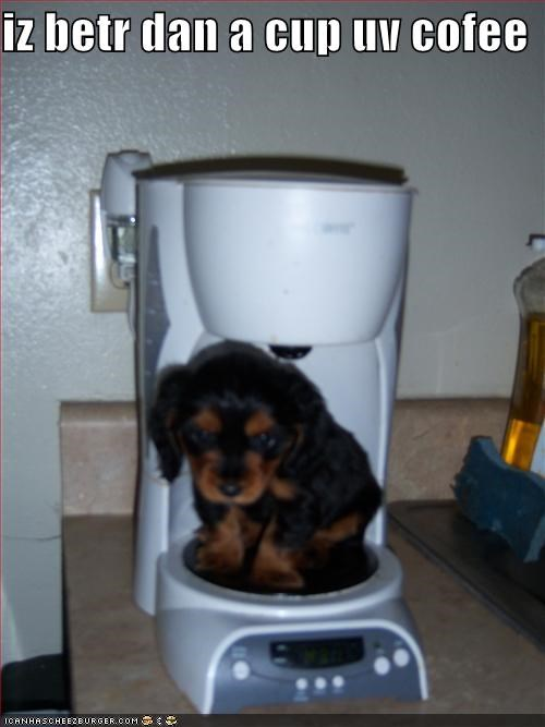 better,better than,cavalier king charles spaniel,coffee,coffee maker,comparison,cup,cute,puppy,sitting
