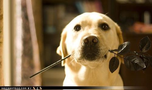 asking cute dating Flower girlfriend labrador please present question romantic sweet themed goggie week - 4216636160