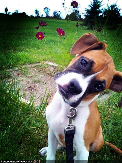 boxer contemplating cyoot puppeh ob teh day deep puppy thinking thought