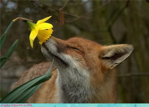 cute,Flower,fox,sniff