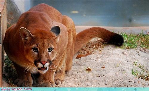 big cat cougar pink puma - 4219175424