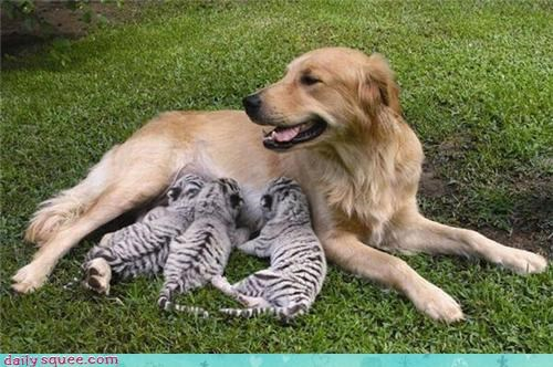 baby,cub,dogs,puppy,tiger