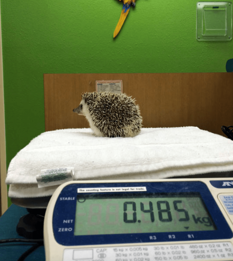 a funny and cute dentist experience for a hedgehog
