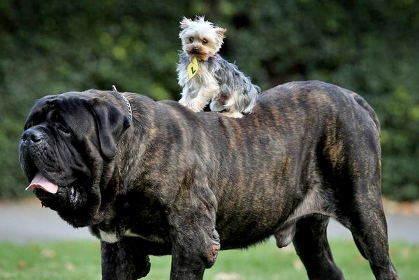 big dogs with little dogs being cute together