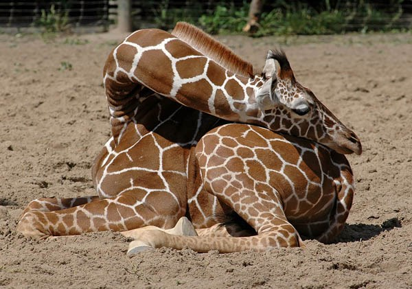 position sleeping funny giraffes - 4222725