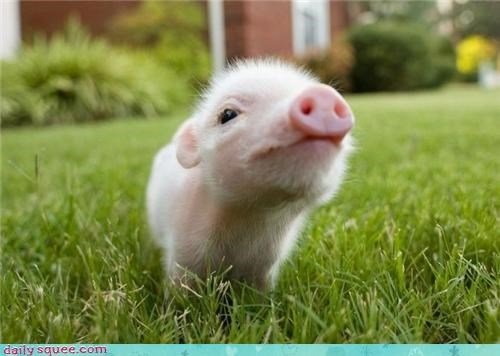 baby tiny piglet babe pig squee - 4222843392