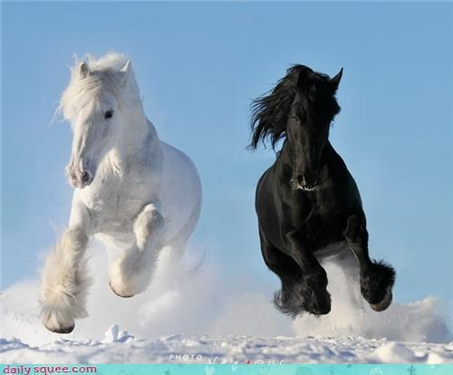 snow fabulous running black and white horses squee