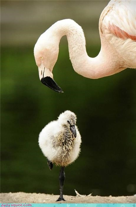 baby,chick,mommy,flamingo,bird,squee,kindergarten