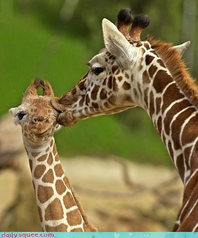 baby KISS wet kisses giraffes mommy squee delightful insurance - 4222921472