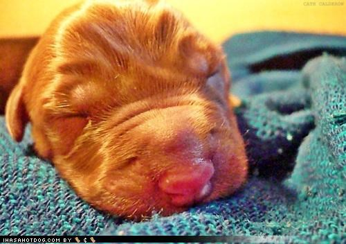 adorable baby cute labrador newborn puppy splort squee themed goggie week three days old warning - 4223274240