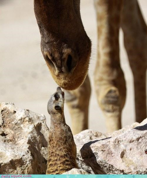 accident acting like animals asking booping curious gigantic giraffes meerkat nose peanut butter pun questions stuck