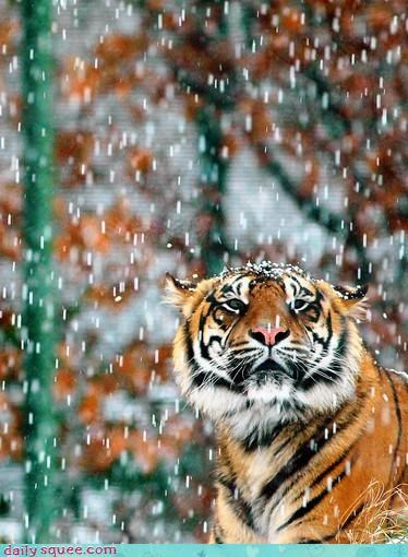 acting like animals,displeased,do not want,forecast,incorrect,meteorologist,predicted,preparation,snow,snowing,tiger,upset,weatherman