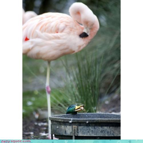 acting like animals advantage competition duck flamingo noms size size matters