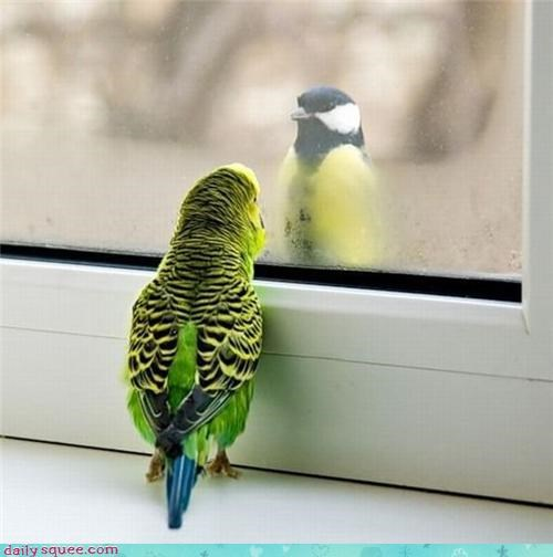 acting like animals bird broken cockatiel confused divided division mirror optical illusion options reflection window - 4223890176