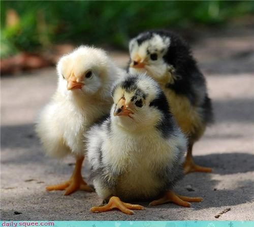 Babies chicks birds chickens tough squee - 4224656384