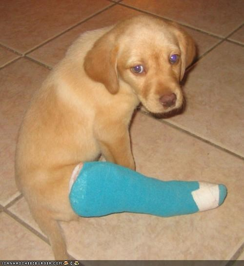 booboo borked broken cast cute cyoot puppeh ob teh day labrador leg puppy Sad