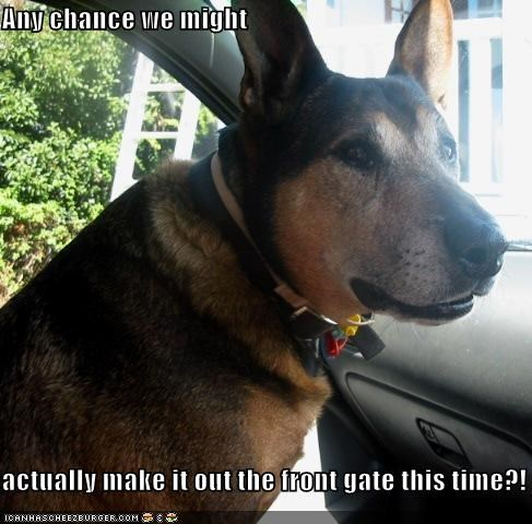 any chance front gate german shepherd make might mixed breed out question - 4228592896